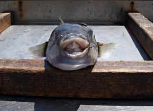 Frischer Fisch enthält nicht nur reichlich Vitamin D, sondern auch viel schädliches Quecksilber. Kaufen Sie für Sous Vide nur Fisch mit einwandfreier Herkunft. (Bild Katharina Wieland Müller, pixelio.de)