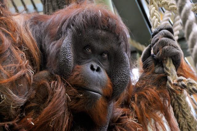 Den Lebensraum des Orang Utan durch nachhaltigen Kaffeeanbau schützen